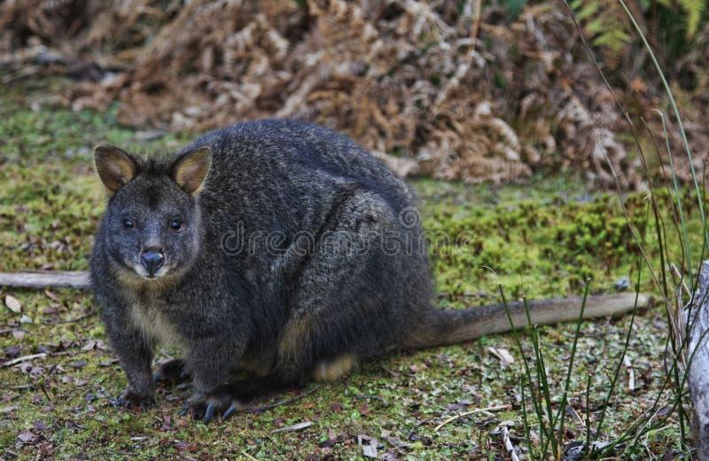 Wallaby orTasmanian Pademelon stock photos