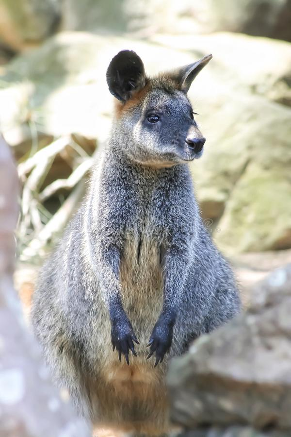 Wallaby. A portrait picture of wallaby from Australia stock images