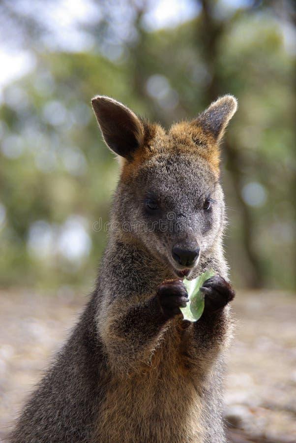 Wallaby que come la hoja imágenes de archivo libres de regalías