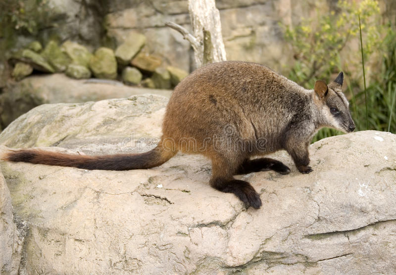 Wallaby On Rock Stock Photo