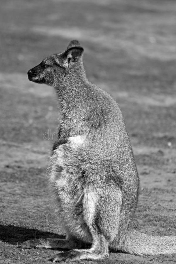 Wallaby Stunning fotografia stock