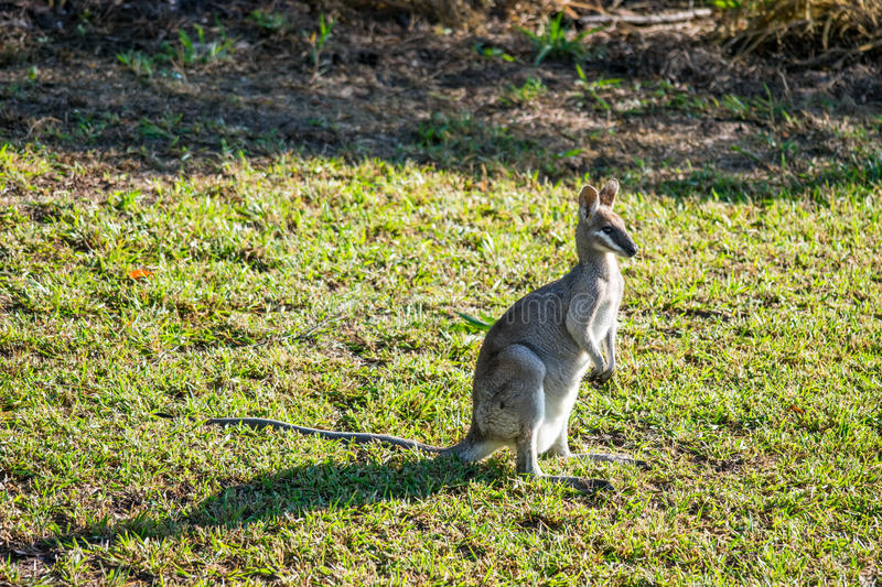 Wallaby at sunrise in Agnes Water royalty free stock photography