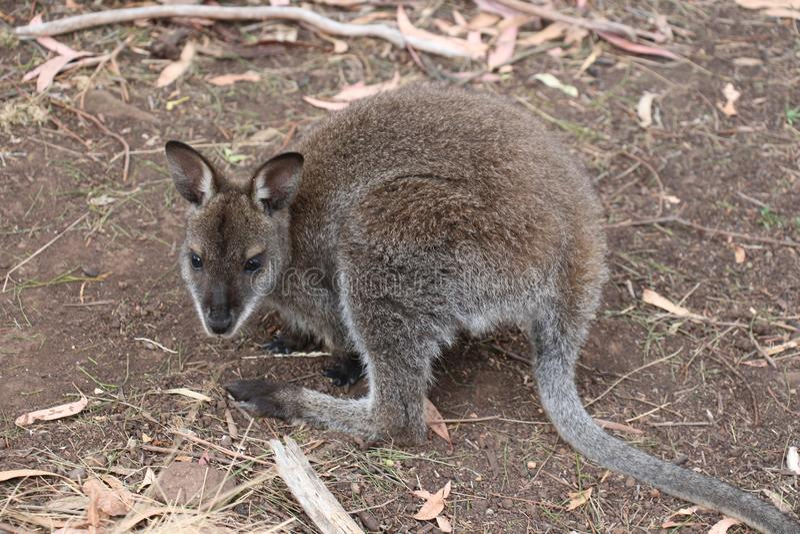 Wallaby Tasmanie de marais de bébé photographie stock libre de droits
