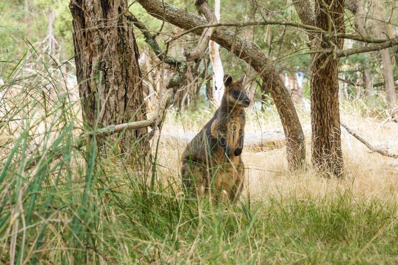 Wallaby under the trees in Phillip Island, Victoria, Australia royalty free stock image