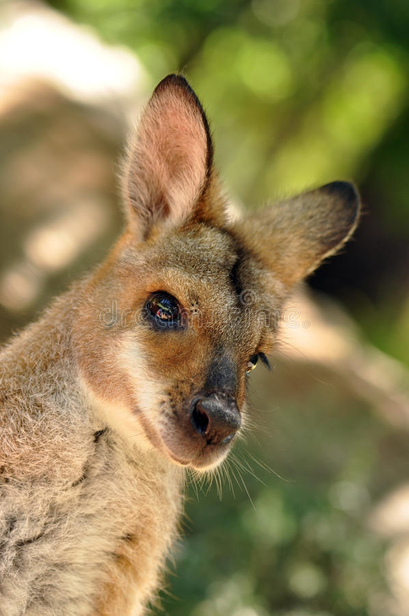 Wallaby vermelho da garganta fotos de stock