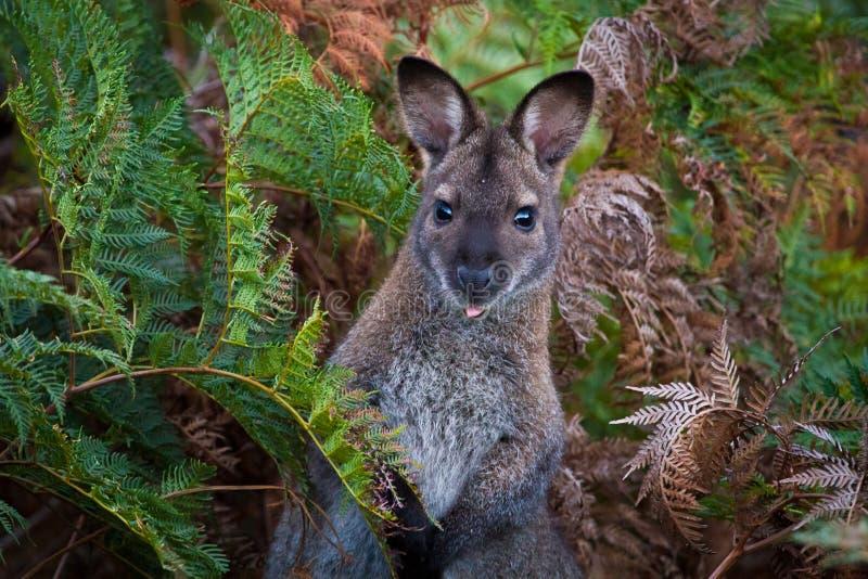 Wallaby w paprociach zdjęcia royalty free