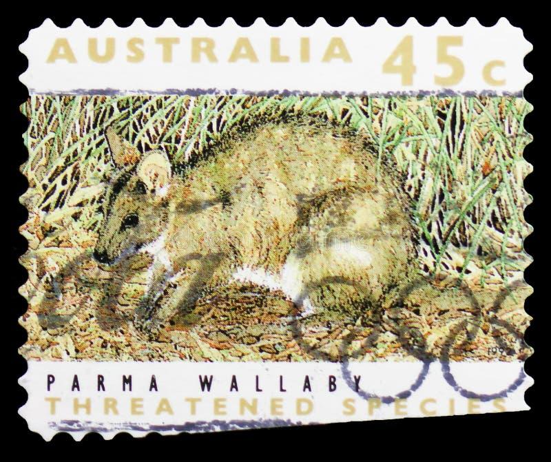 Wallaby Wallabia Parma, serie minacciato di Parma di specie, circa 1992 immagine stock libera da diritti