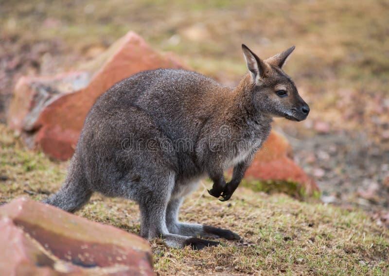 Wallaby: wildlife and animals of Australia royalty free stock photo