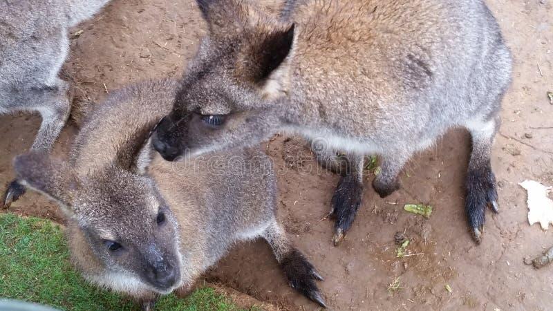 Wallabys imagen de archivo