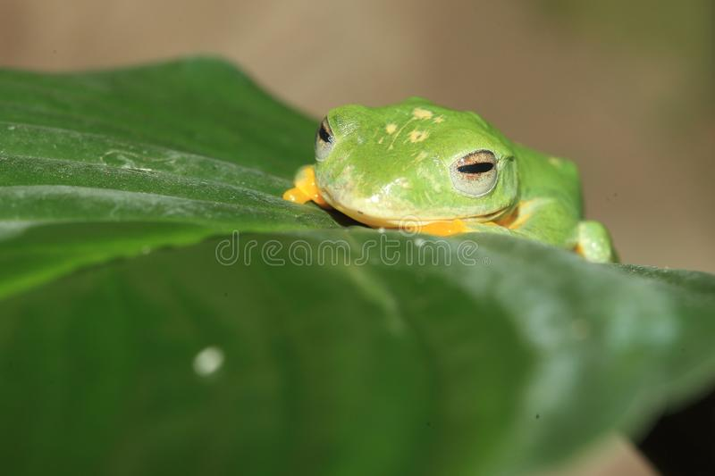 Wallace flying frog. On the leaf royalty free stock images
