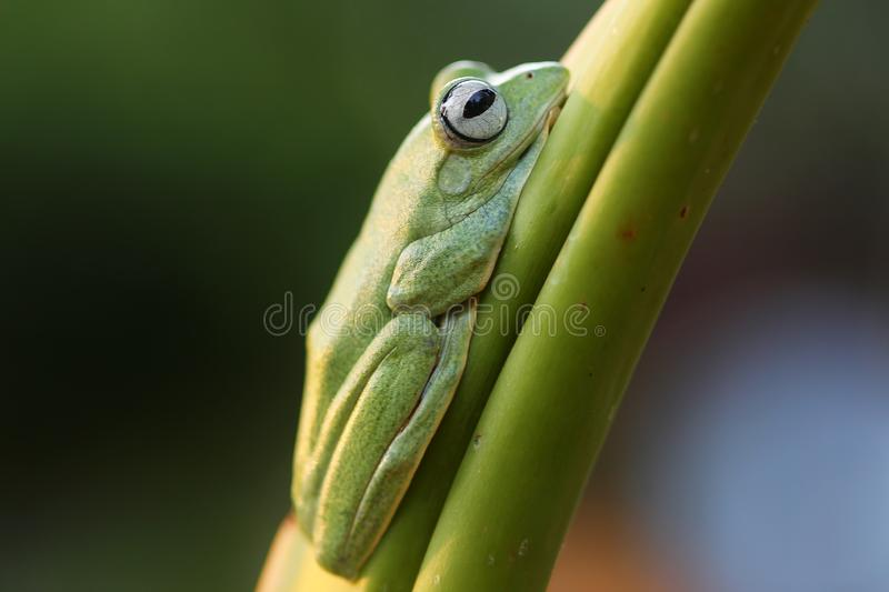 Wallace`s flying frog, Wallace`s flying frog on a branch.  royalty free stock photography