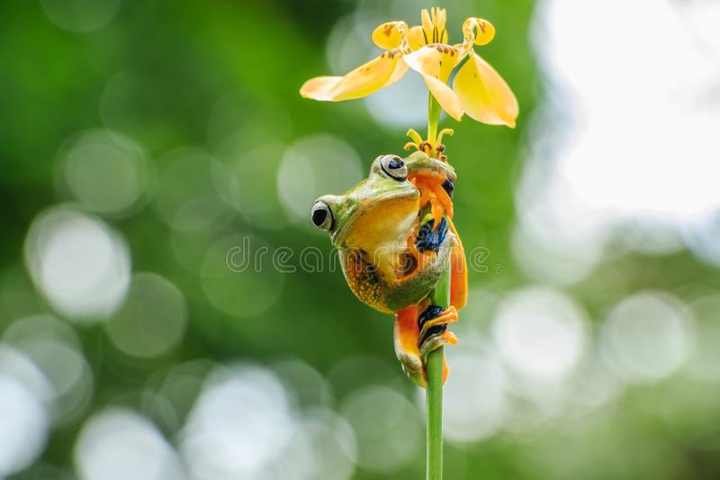 Wallace`s flying frog Flower Umbrella. Wallace`s flying frog Rhacophorus Nigropalmatus hang on the flower, its look like an umbrella. This photo background full royalty free stock images