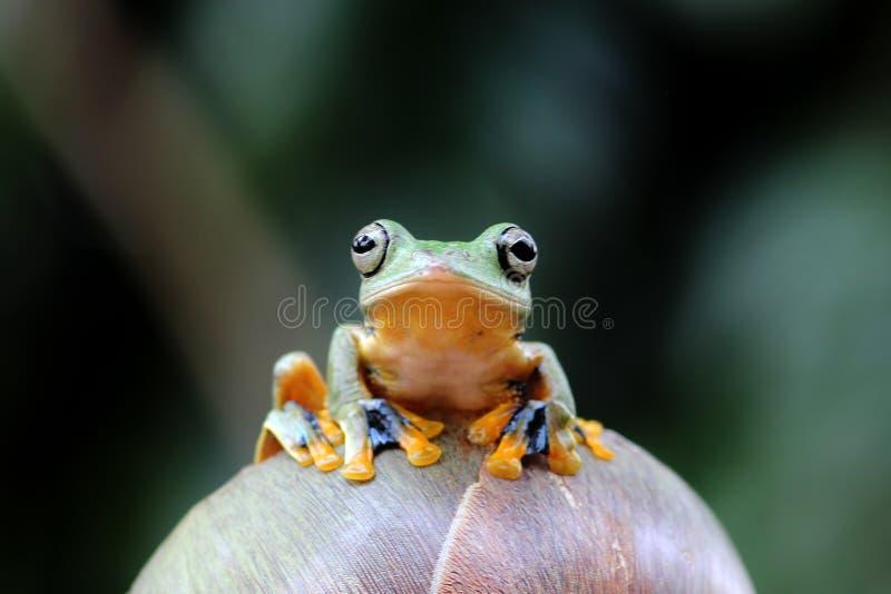 Wallaces fliegender Frosch Aloneness stockbilder