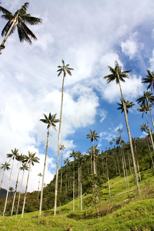 Walley de Cocora et paume de cire images stock