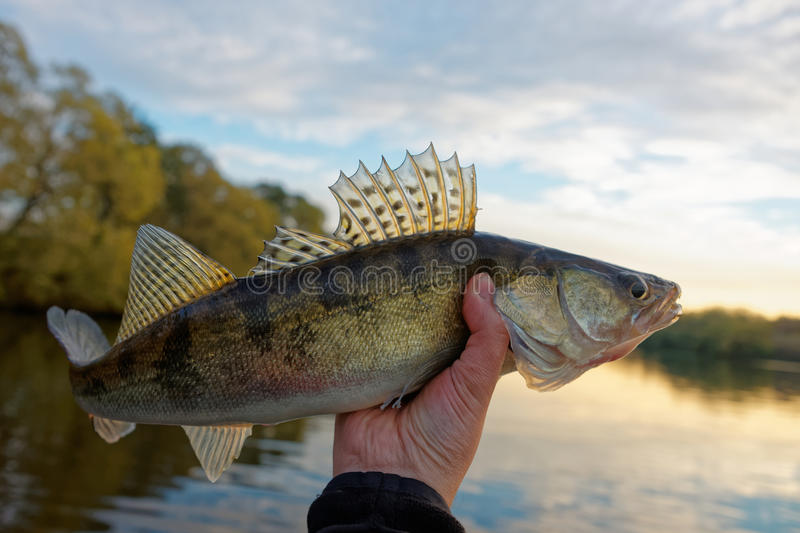 Walleye in fisherman's hand stock images