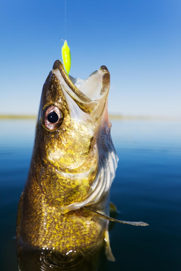 Walleye fishing stock photo