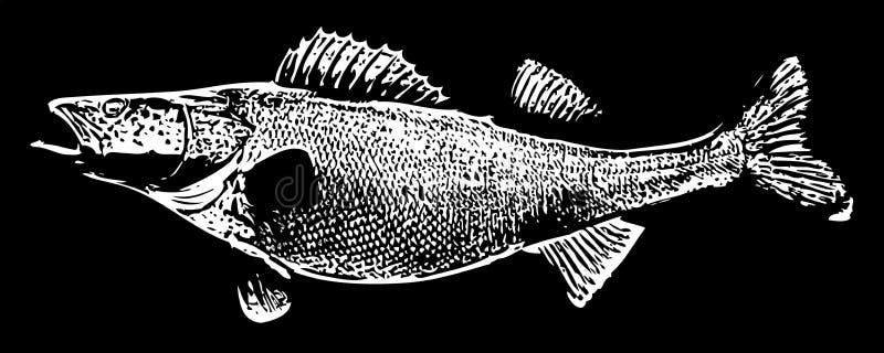 WalleyeZander fisk på svart bakgrund vektor illustrationer