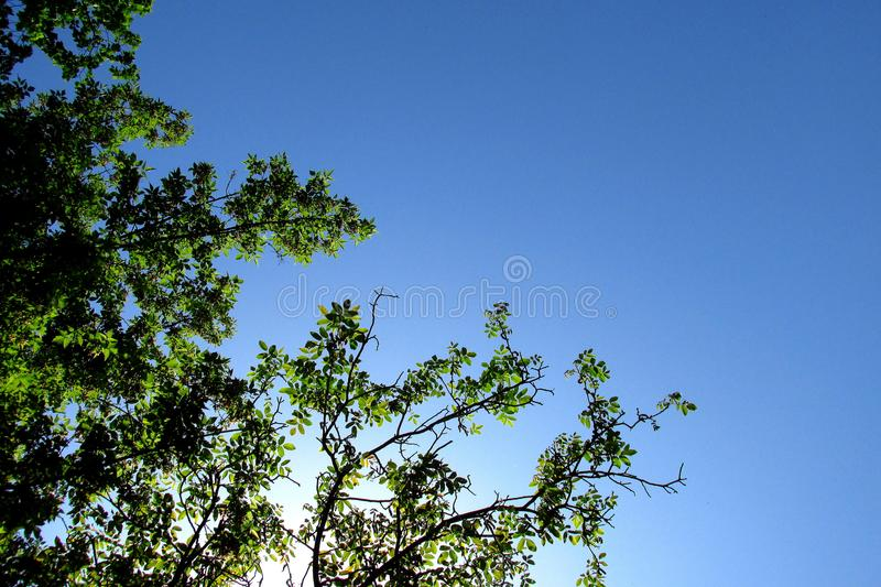 A wallnut tree with a blue sky in the background stock images
