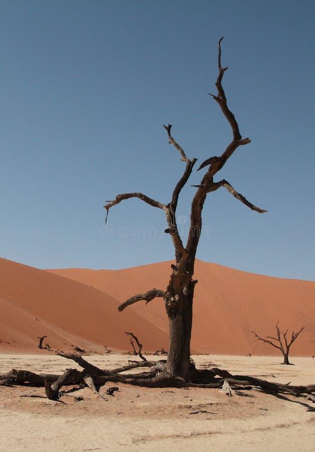 wallpaper Arbre sec dans le désert de Namib Sossusvlei photo libre de droits