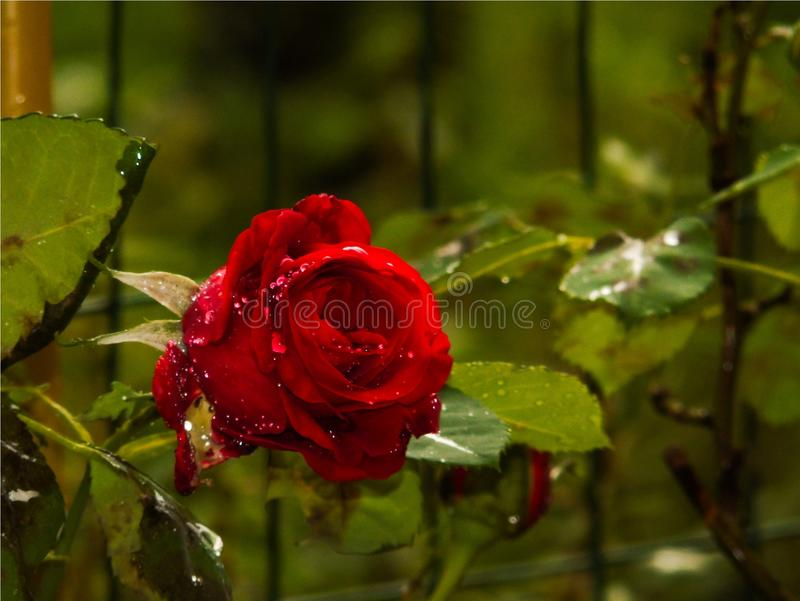 Red rose blossomed with raindrops on the petals, colored red flower, love. Wallpaper of artistic closeup of red rose blossomed, bud, landscape, red flower with stock images