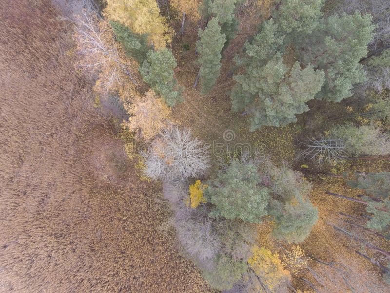 Autumn wallpaper - lake reeds and forest top down view from drone for desktop background. Wallpaper with autumn fall in Latvia - lake reeds and colorful forest royalty free stock photos