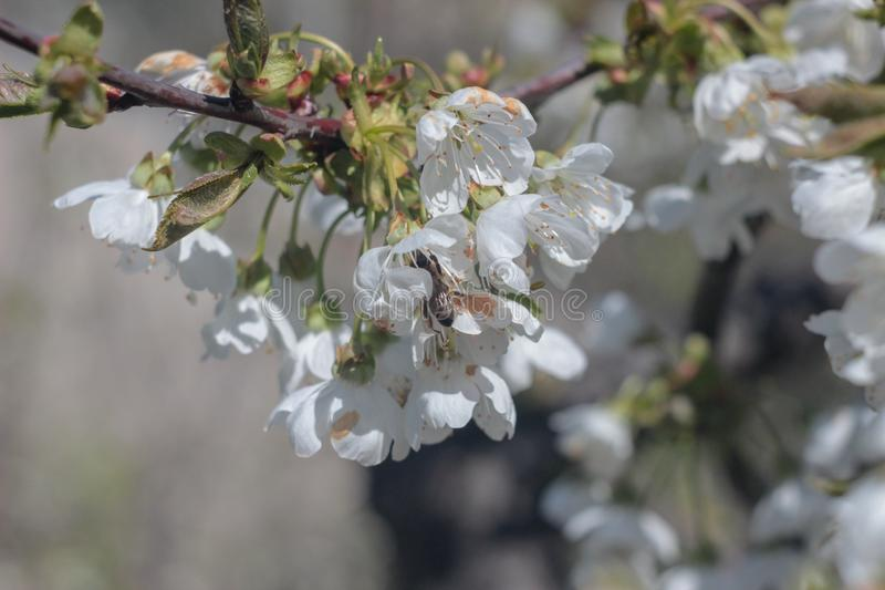 Photo of blooming cherry tree stock image