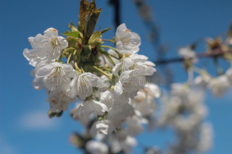 Photo of blooming cherry tree royalty free stock photos