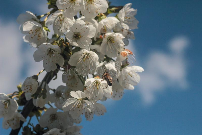 Photo of blooming cherry tree royalty free stock images