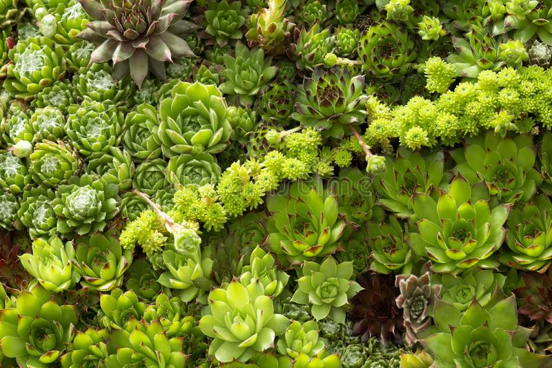 Tapestry of green succulent plants . Wallpaper of green succulent plants seems like a tapestry, makes a line in the middle of the pic stock photo