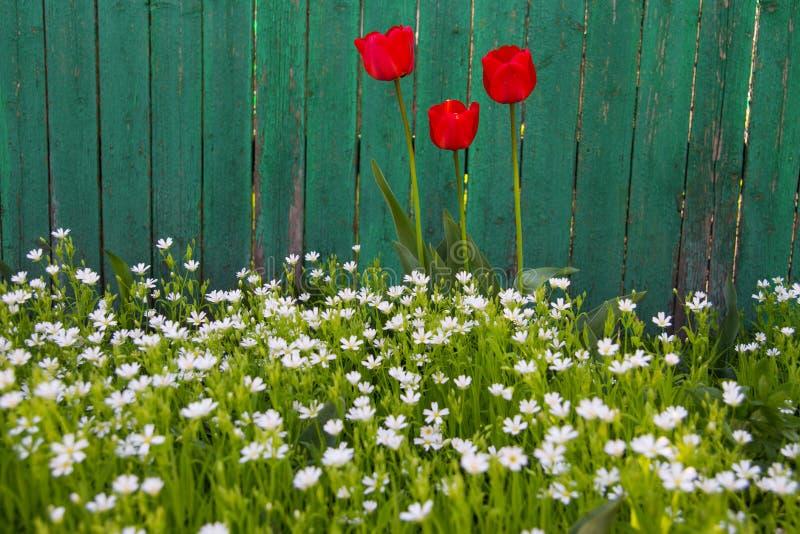 wallpaper A mola floresce tulipas e wildflowers no jardim imagem de stock