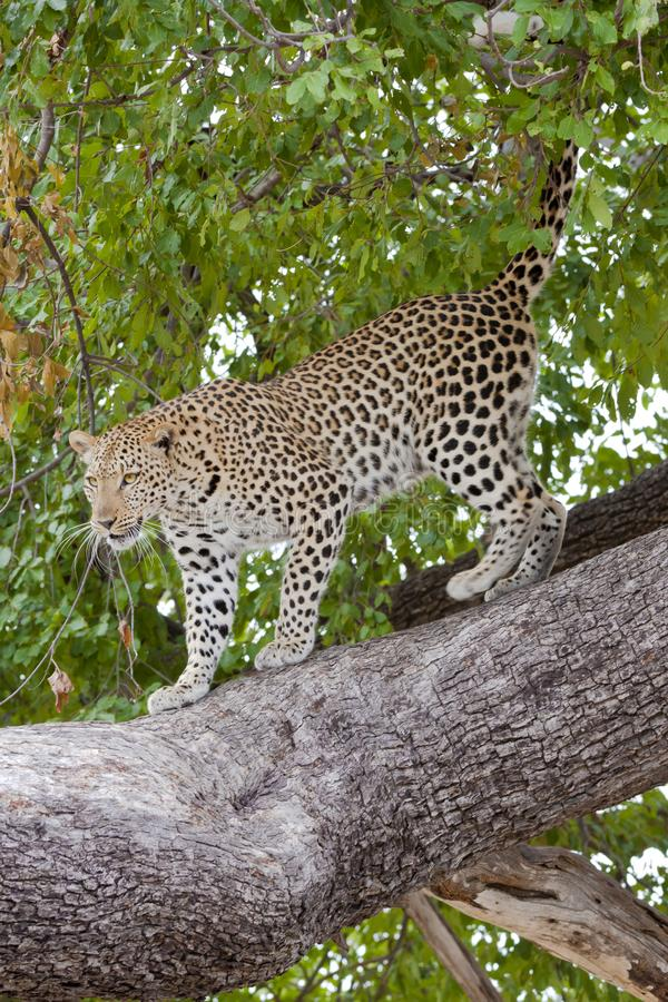 Wallpaper online - leopard coming down from tree, Botswana. A young leopard relaxed lying on a big tree in Botswana, Africa - wallpaper online royalty free stock photos