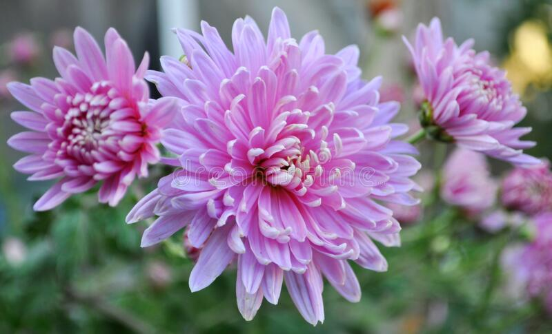 Wallpaper with pink chrysanthemums closeup. Izmail, Ukraine. Wallpaper with pink chrysanthemums closeup in the garden. Izmail, Ukraine royalty free stock image