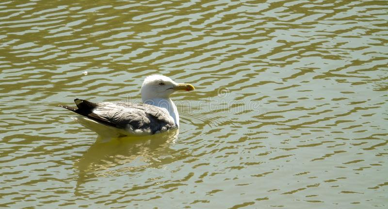 Seagull on the green water of a lake, profile of bird swimming, background of wild animal stock photo