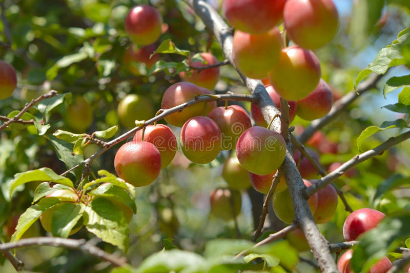 Wallpaper Red Cherry Plum. Delicious cherry-plums on the plum tree stock image