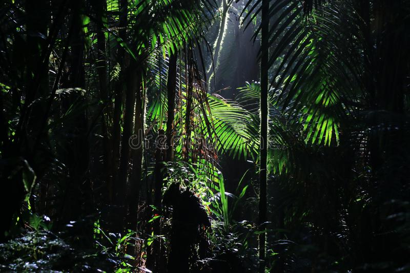 A wallpaper of Tropical rainforest with sun rays coming in from above. A wallpaper of a lush green tropical rainforest with sun rays coming in from above royalty free stock photography