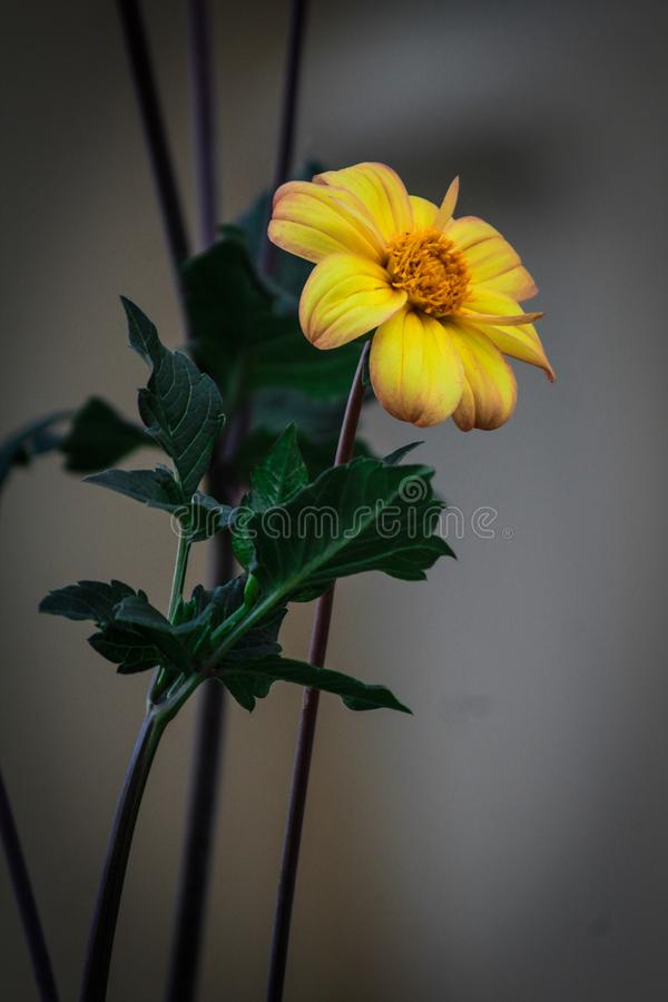 Wallpaper in yellow flower sunflower stock photography