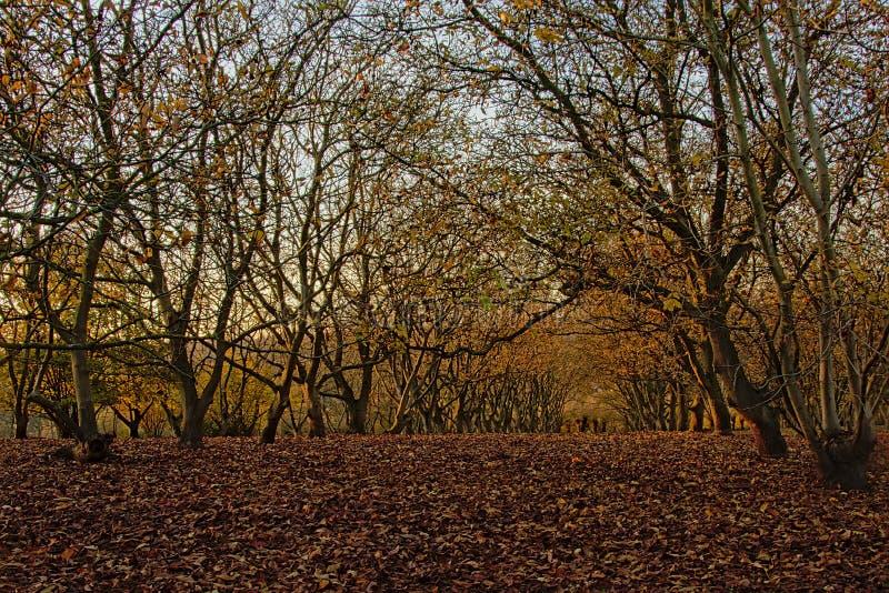 Walnussbaum orachard - Juglans Regia stockbild