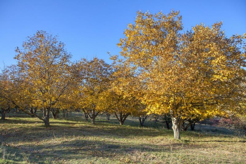 Walnussgarten im Herbst stockbilder