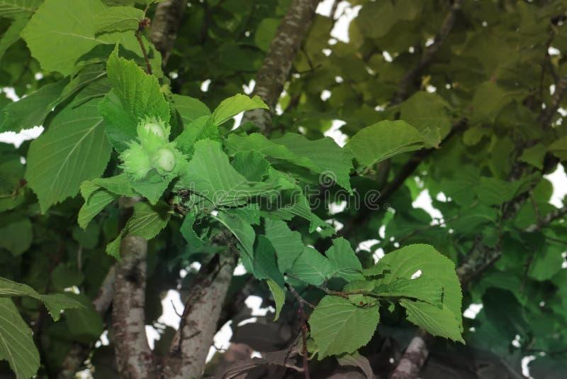 Walnusshaselnusshintergrund von grünen Blättern stockfotografie