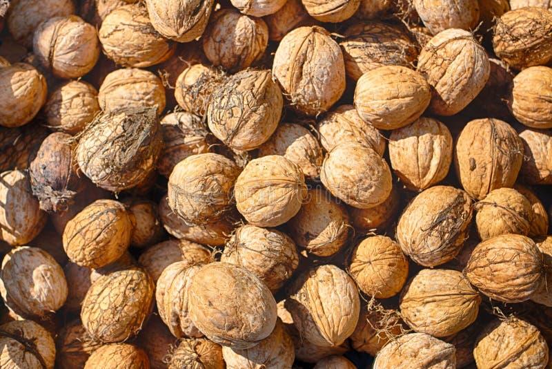 walnut καρύδι ώριμο Καρύδι συγκομιδών σε ένα φυσικό κοχύλι Έτοιμο για χρήση στοκ εικόνες με δικαίωμα ελεύθερης χρήσης