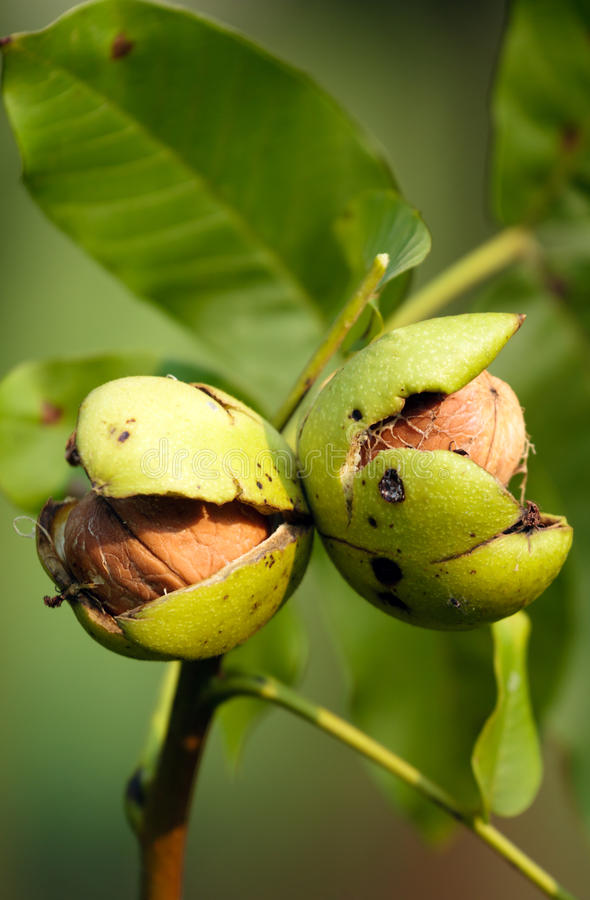 Download Walnut stock photo. Image of nutty, cracked, dried, diet - 26597760