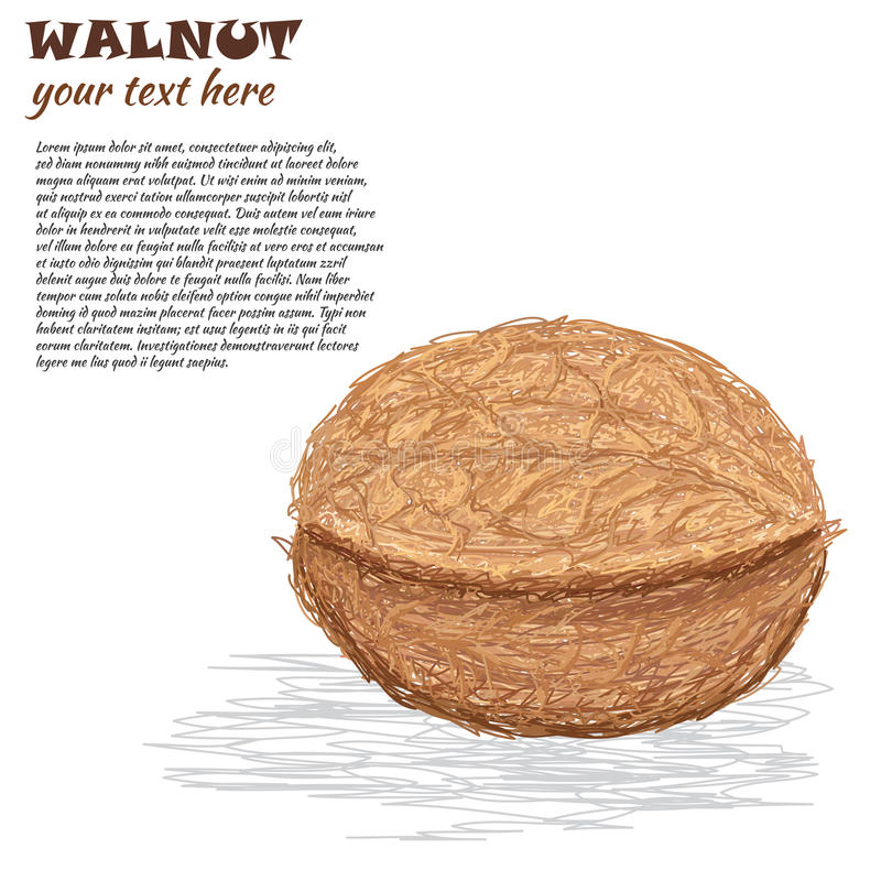 Download Walnut stock illustration. Illustration of isolated, natural - 29537360