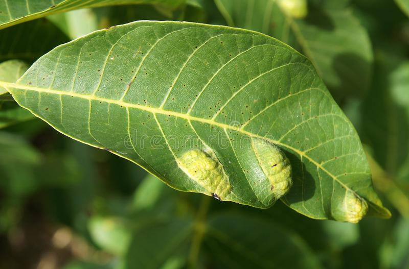 Walnut blister mite Eriophyes tristriatus. Walnut leaves with damages and galls caused by a walnut blister mite Eriophyes tristriatus stock photos