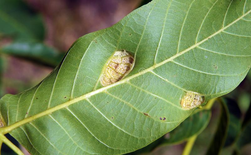 Walnut blister mite Eriophyes tristriatus. Walnut leaves with damages and galls caused by a walnut blister mite Eriophyes tristriatus royalty free stock images