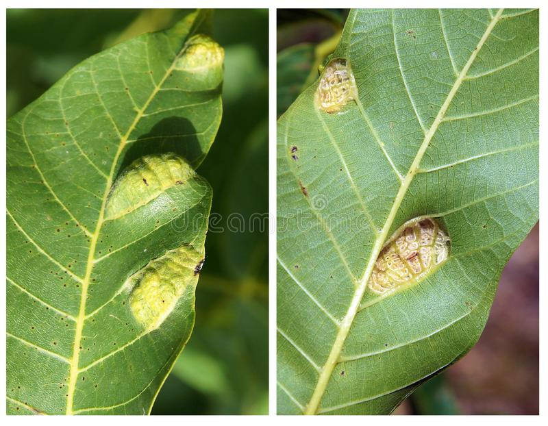Walnut blister mite Eriophyes tristriatus. Two sides of the Walnut leaf with damages and galls caused by a walnut blister mite Eriophyes tristriatus royalty free stock photos