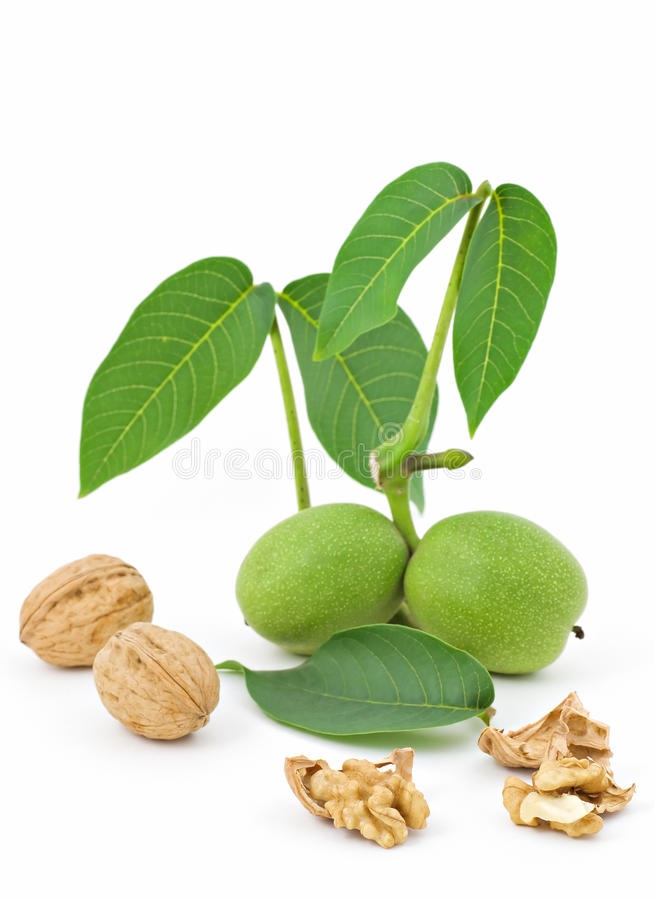 Download Walnut Branch stock image. Image of freshness, plant - 23305563
