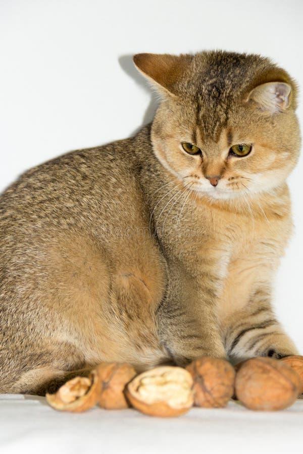Walnut and cat stock image image of kitten peel broken 59982393 download walnut and cat stock image image of kitten peel broken 59982393 publicscrutiny Image collections