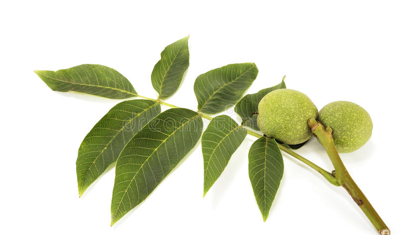 Walnut in a cover royalty free stock photos