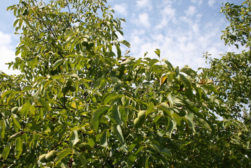 Download Walnut garden stock image. Image of cherries, walnut, summer - 6356007