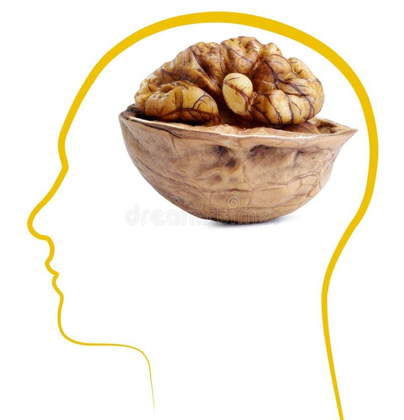 Walnut good brain health. ??Isolated on white background stock image